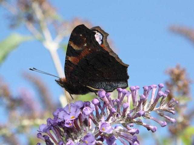 A peacock butterfly, one of the species the Wildlife Trust for Lancashire, Manchester and North Merseyside is hoping to protect by fund-raising to create Nature Recovery Networks across the region. Picture: ALAN WRIGHT