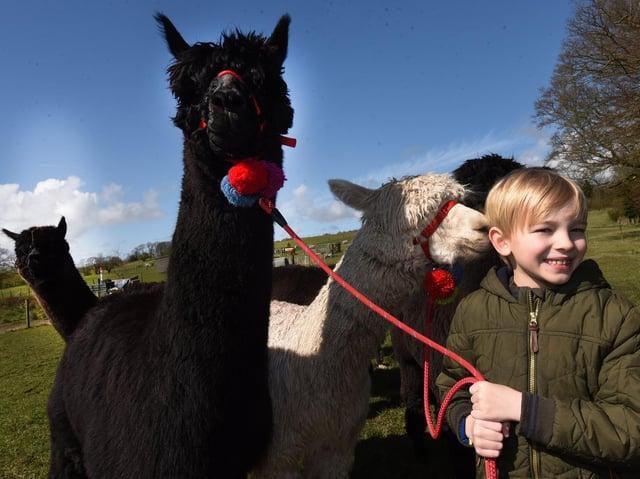Harry, 7, enjoys walking one of the alpacas