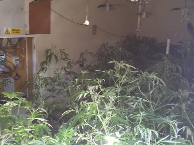Cannabis plants discovered at a property in Cook Street, Leigh