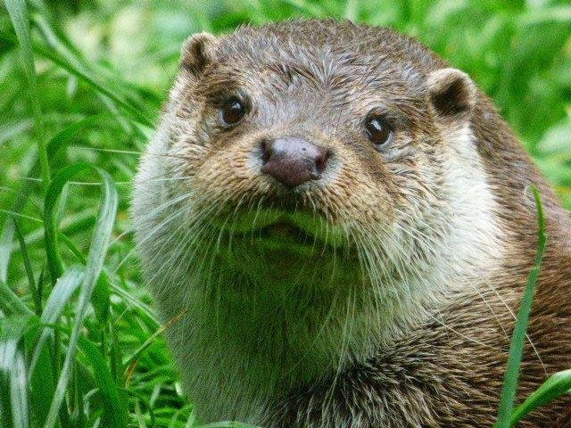 An otter was spotted on a stretch of the River Douglas in Wigan