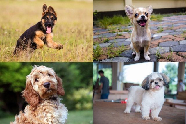 What is your favourite dog breed?