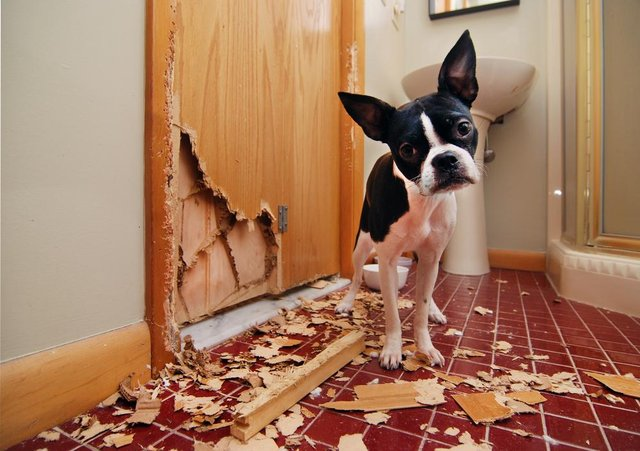 Some dog breeds were found to be naughtier than others when it came to damage in the home.